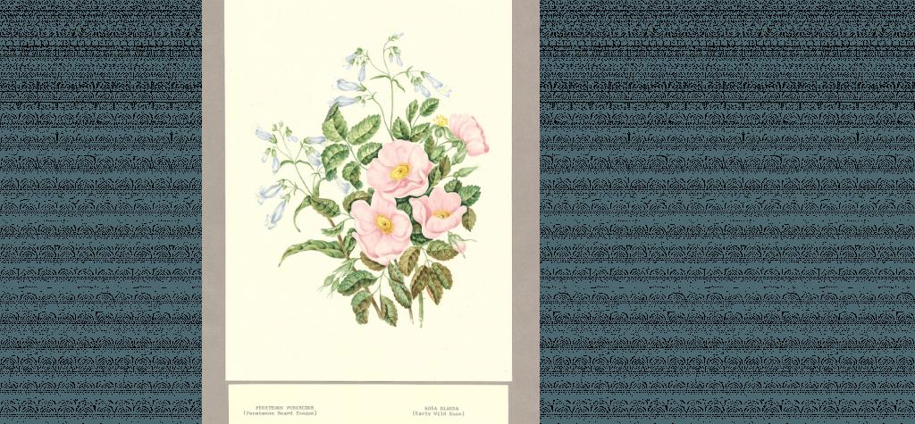 Chamberlin Rose