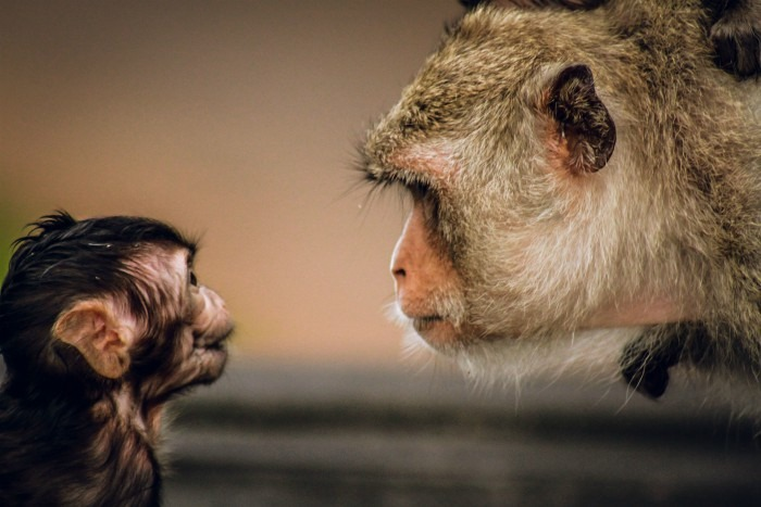 Photo of two monkeys staring at each other.