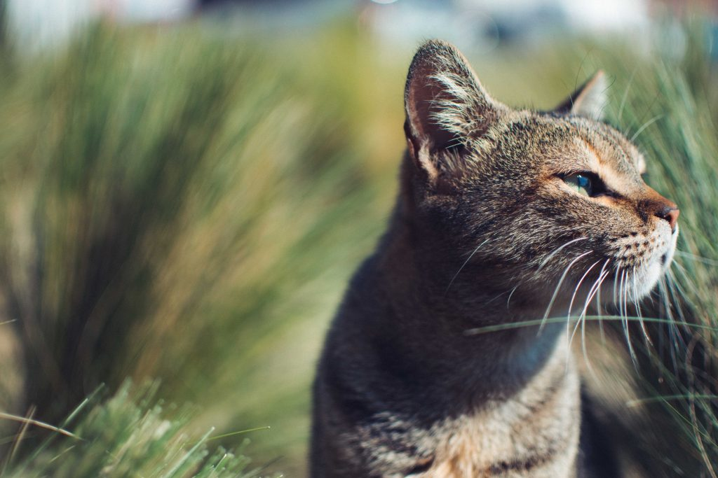 Cat in grass, looking off into the distance.