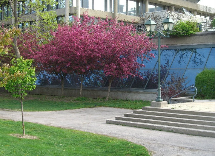 A photo of the cherry blossom tree blooming right outside the U of T Music Library, on the East side of Philosopher's Walk